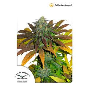 DUTCH PASSION – Californian Orange Fem X3