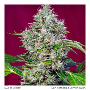 SWEET SEEDS – San Fernando Lemon Kush