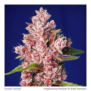 SWEET SEEDS – Tropicanna Poison F1 Fast Version 3+1