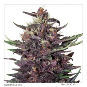 BUDDHA SEEDS -Buddha Purple Kush Fem 3+1